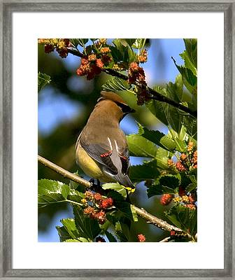Framed Print featuring the photograph Cedar Waxwing Dsb056 by Gerry Gantt