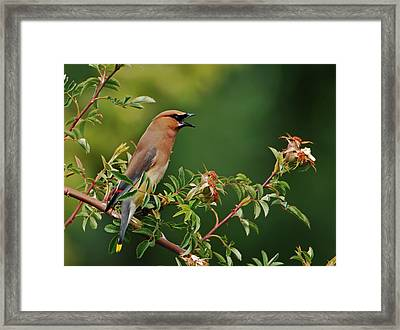 Cedar Waxwing Framed Print by Jim Boardman
