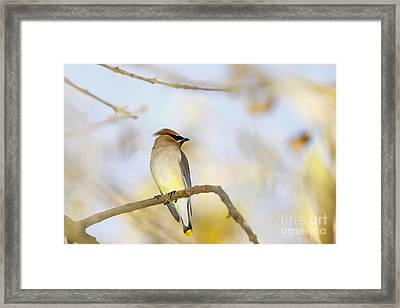 Cedar Waxwing On Yellow And Blue Framed Print