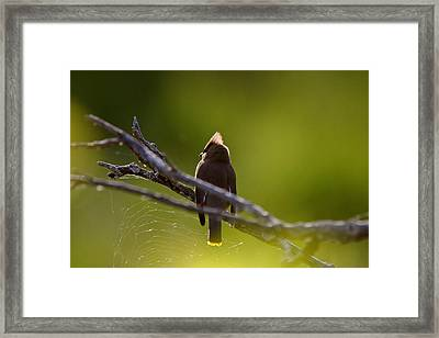 Cedar Waxwing Perched In Tree Framed Print by Mark Duffy
