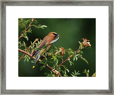 Cedar Waxwing With A Bug Framed Print by Jim Boardman