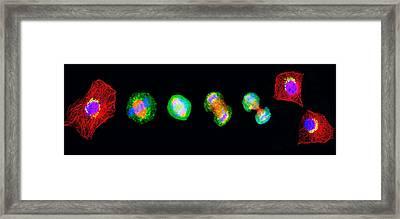 Cell Mitosis Framed Print by Thomas Deerinck, Ncmir