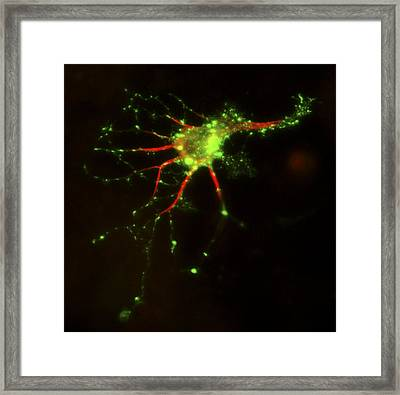 Cell Structure, Fluorescent Micrograph Framed Print