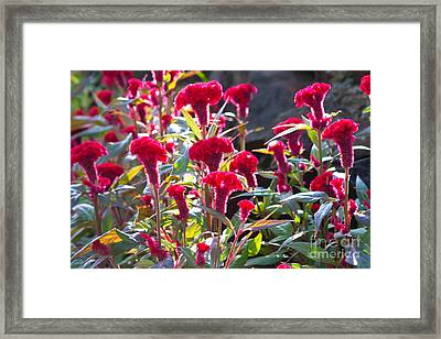 Celosia Cristata Framed Print