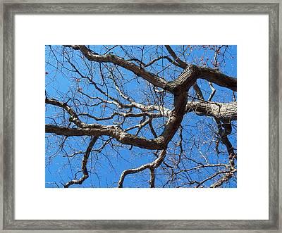 Centenarian Oak Framed Print