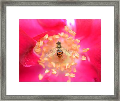 Framed Print featuring the photograph Centerpiece Bee In A Rose by George Bostian