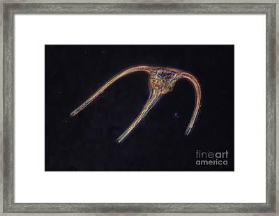 Ceratium Sp. Dinoflagellate, Lm Framed Print