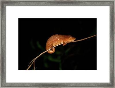Chameleon At Night In Andasibe Framed Print