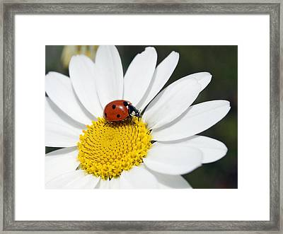 Chamomile Flower And Ladybird Framed Print by Adrian Bicker