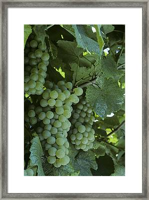 Chardonnay Grapes On The Vine Framed Print by Kenneth Garrett