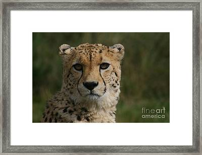 Charlie The Cheeta Framed Print by Carol Wright