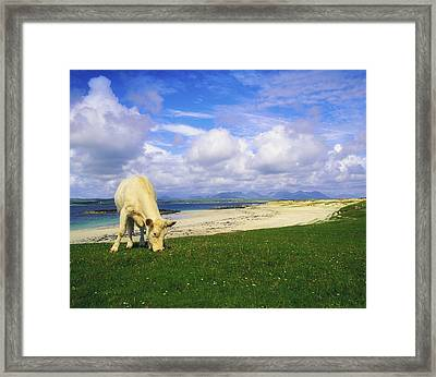Charolais Cow, Mannin Bay, Co Galway Framed Print