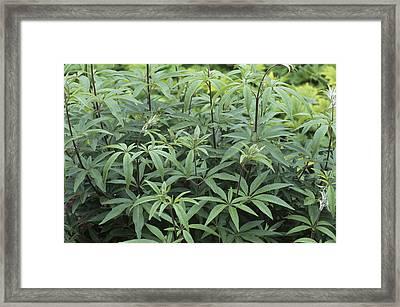 Chaste Tree (vitex Agnus-castus) Framed Print by Adrian Thomas