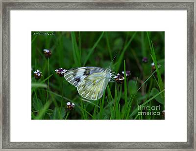 Checkered White Butterfly Framed Print by Barbara Bowen