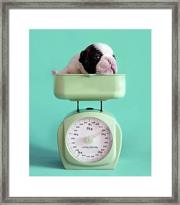 Checking Puppy Weight Framed Print by Retales Botijero
