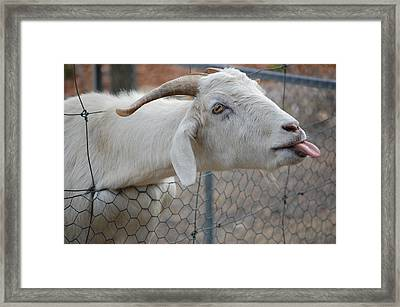Cheeky Goat Poking Out Tongue Framed Print by Rebecca Hamby