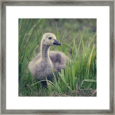 Cheeky Goose With His Tongue Out Framed Print by BlackCatPhotos