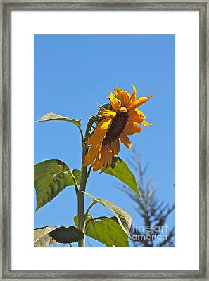 Cheer Up Sunflower  Framed Print by Lori Leigh