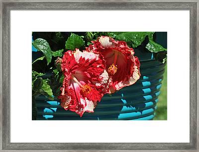 Cheery Cherry Appaloosa Framed Print by Lynn Bauer