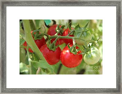 Cheery Tomatoes Framed Print