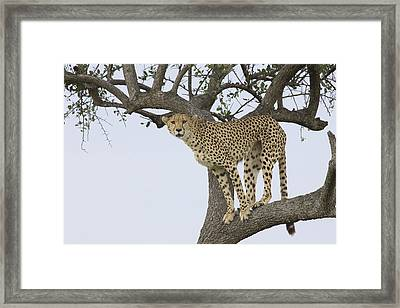 Cheetah Acinonyx Jubatus Female Framed Print by Suzi Eszterhas