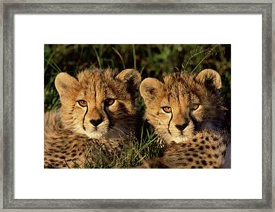 Cheetah Acinonyx Jubatus Two Cubs Framed Print by Peter Blackwell