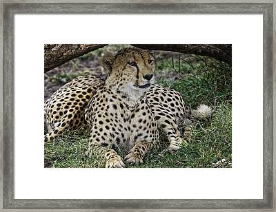 Cheetah Alert Framed Print