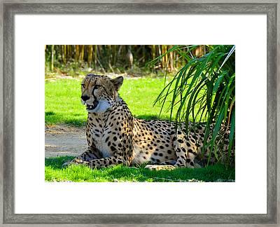 Cheetah At Rest Framed Print by David Lee Thompson