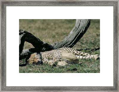 Cheetah Cub Sleeping And Guarding Hat Framed Print by Greg Dimijian
