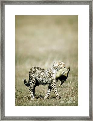 Cheetah Cub With Hat Framed Print by Greg Dimijian