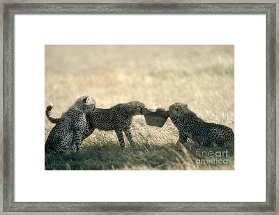 Cheetah Cubs Play With Hat Framed Print by Greg Dimijian