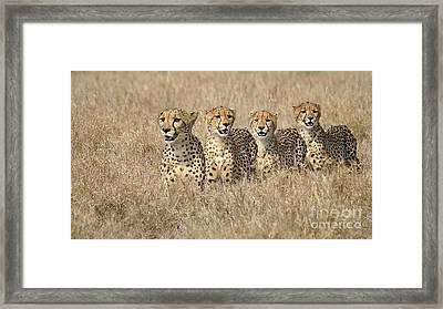 Cheetah Family Framed Print by Mareko Marciniak