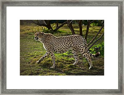 Cheetah  Framed Print by Garry Gay