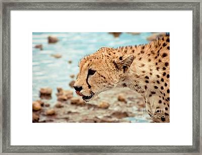 Cheetah Headshot Framed Print