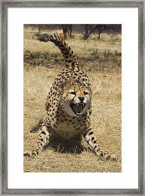 Cheetah Hissing Framed Print by Suzi Eszterhas