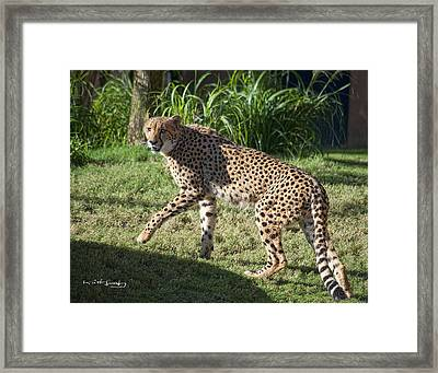 Cheetah Looking Framed Print