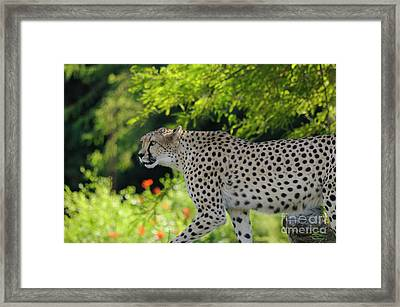Cheetah Framed Print by Marc Bittan