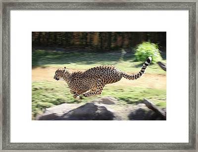 Cheetah Sprint Framed Print by Joseph G Holland