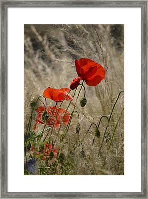 Chelsea Poppies I Framed Print by Dickon Thompson