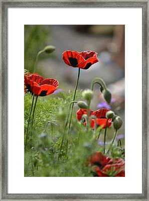 Chelsea Poppies II Framed Print by Dickon Thompson