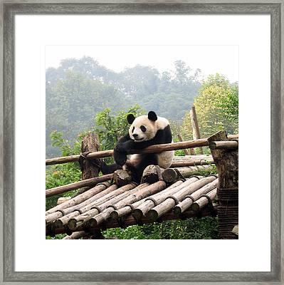 Chengdu Panda Framed Print by Carla Parris