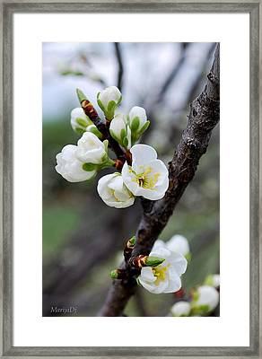 Framed Print featuring the photograph Cherries To Be... by Marija Djedovic