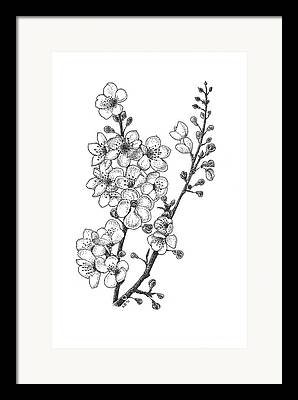 Cherry Blossom Drawings Framed Prints