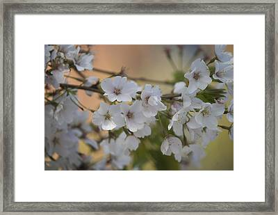 Framed Print featuring the photograph Cherry Blossom 4 by Lisa Missenda