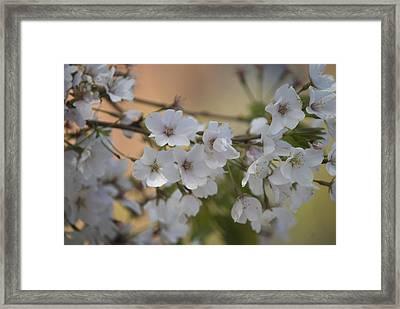 Cherry Blossom 4 Framed Print