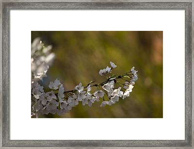 Framed Print featuring the photograph Cherry Blossom Branch by Lisa Missenda
