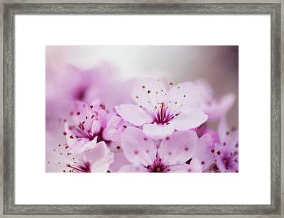 Cherry Blossom Glow Framed Print by Images by Christina Kilgour