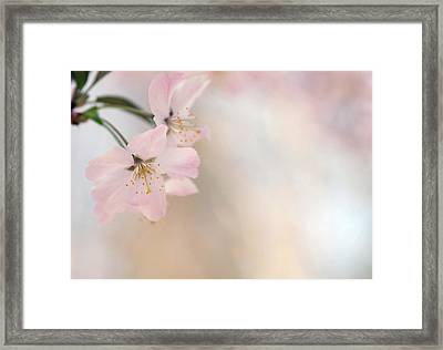 Cherry Blossom Framed Print by Images by Christina Kilgour