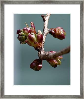 Cherry Blossom Number 4 Framed Print