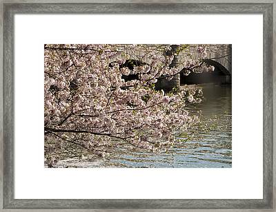 Framed Print featuring the photograph Cherry Blossom On Potomic by Darleen Stry